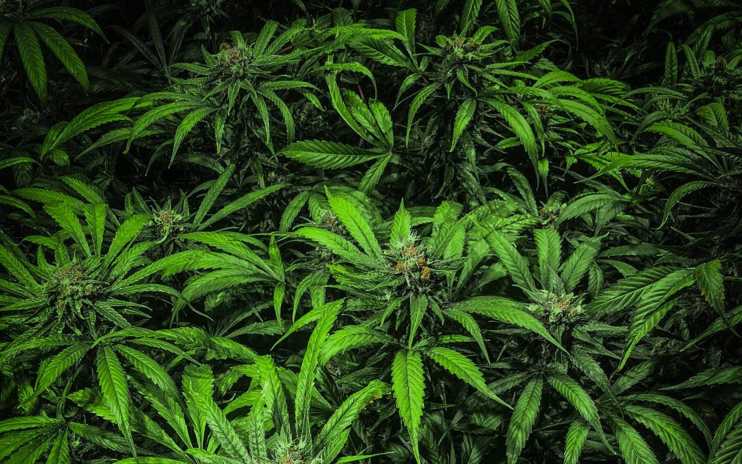 All About Cannabinoid Rich Profiles – THC-O, Delta-8, Delta-9 and more!
